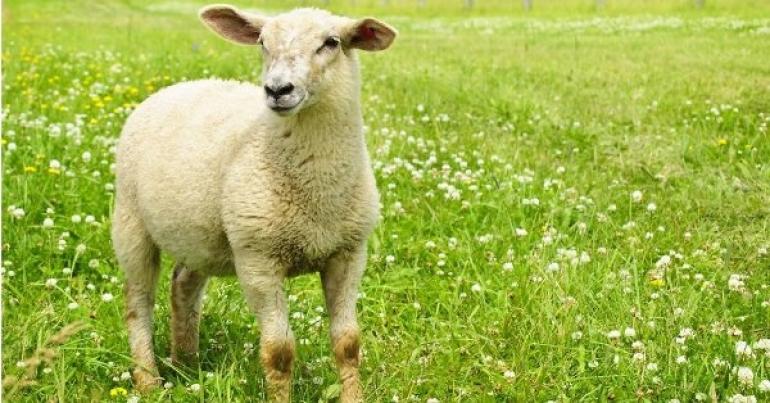 Aktuāla vakance Latvijas aitu audzētāju asociācijā