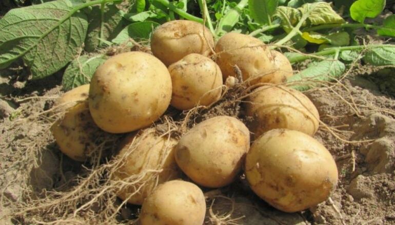 """Kursi  """"Kvalitatīvas un ekonomiski izdevīgas augkopības produkcijas ražošana (bioloģisku kartupeļu audzēšana)"""""""